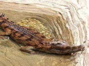 Gavialoviy krokodil