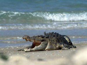 Morskoy grebnistiy krokodil