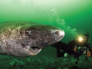 Гренландская акула фото
