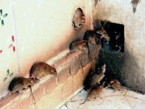 Крысиные тропы