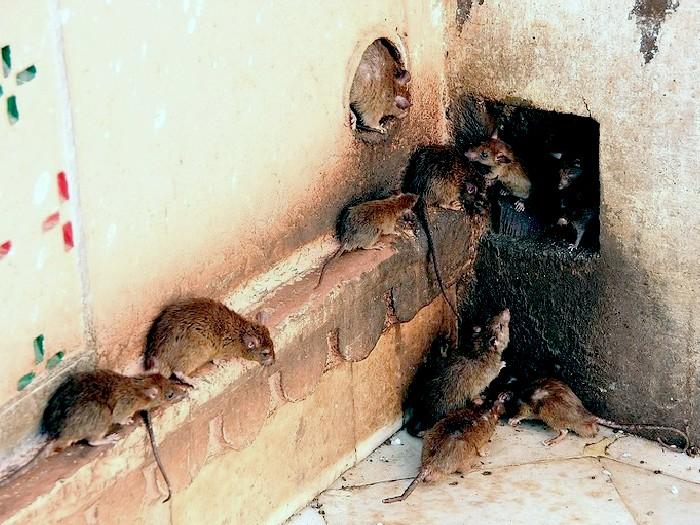 Крыса-животное-Описание-и-образ-жизни-серой-крысы-3