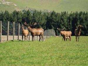 Маралы в Новой зеландии