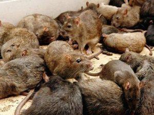 Интересные факты о крысах. 12 фактов о крысе