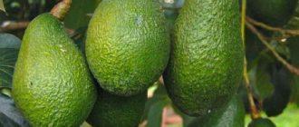 Где растет авокадо?