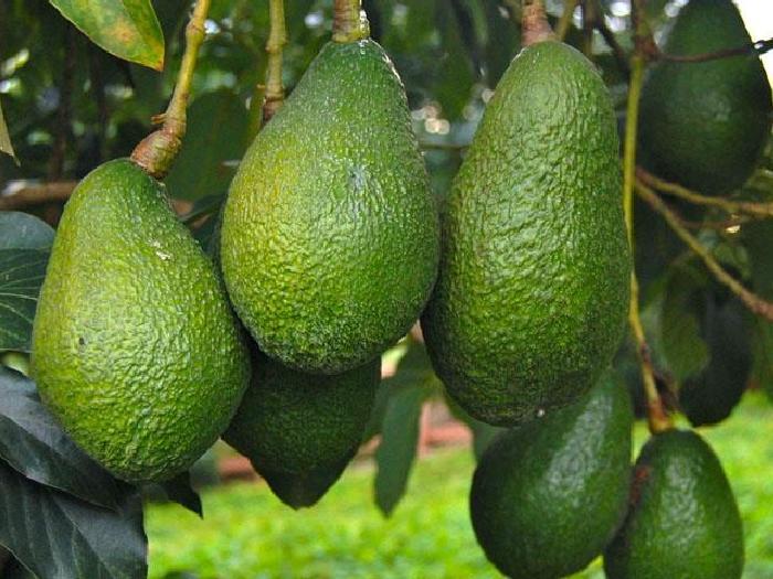 Где растет авокадо в каких странах?