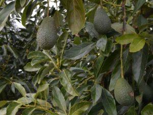 Дерево авокадо сорт Хасс