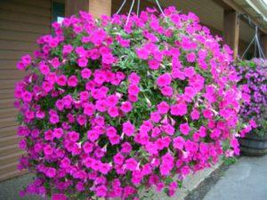 Лобелия цветы. Виды лобелии