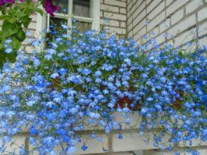 Лобелия голубая Кембридж