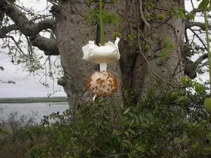 cvetuschiy-baobab