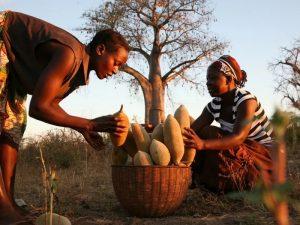 Сбор плодов баобаба