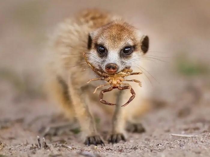 Сурикат ест скорпиона