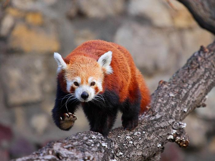 Когти панды