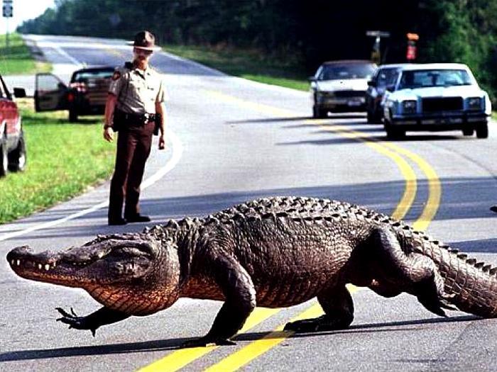 Аллигатор на дороге