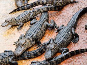 Молодые аллигаторы