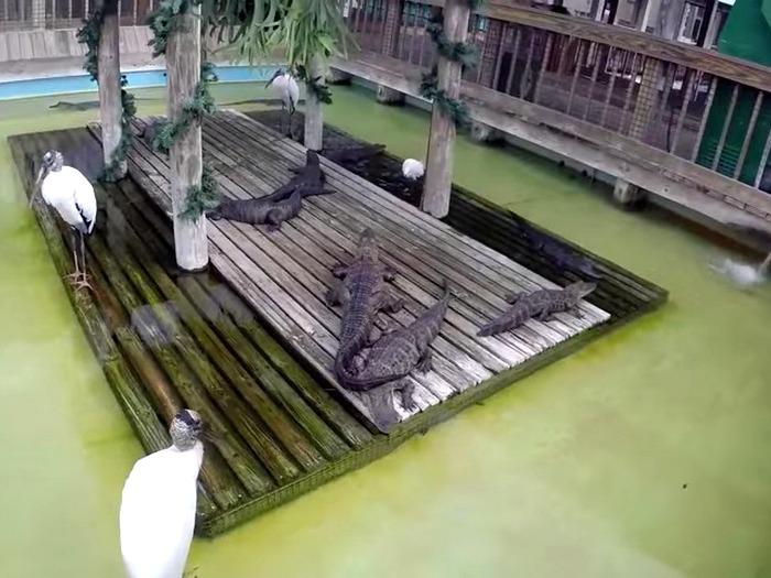 Ферма аллигаторов