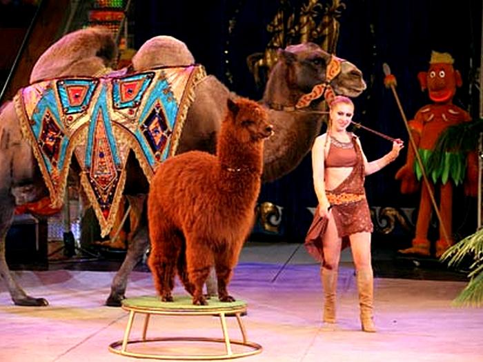 Лама в цирке