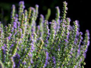 Цветки иссопа лекарственного