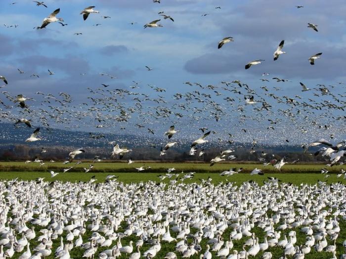 Колония белых гусей на острове Врангеля