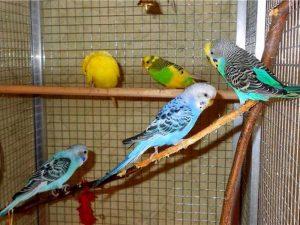 Волнистый попугай фото
