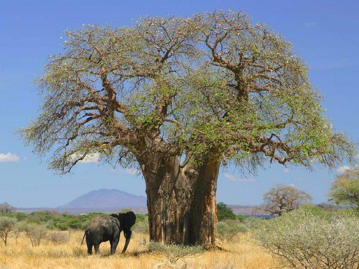 Слон и баобаб