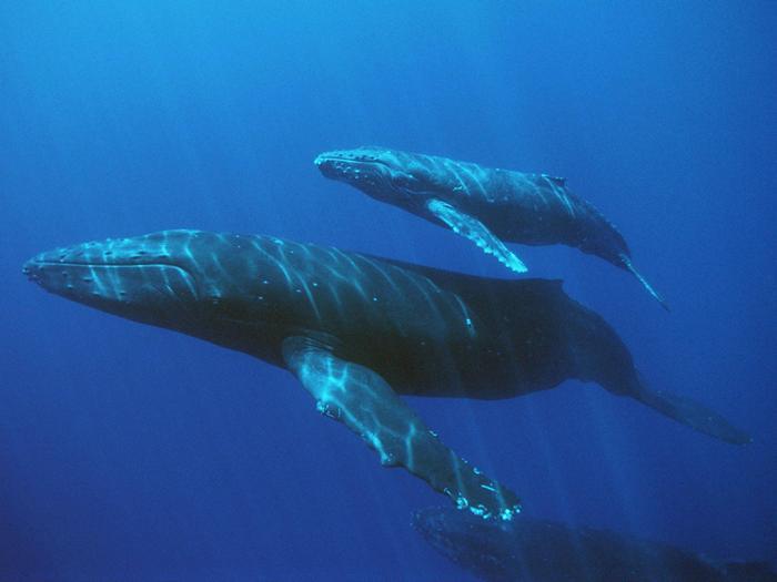 Китовая семья