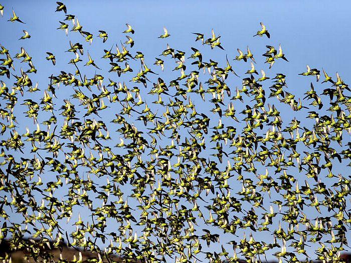 Стая попугаев в воздухе
