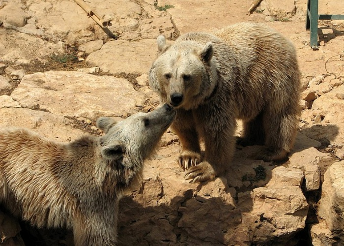 Сирийский бурый медведь