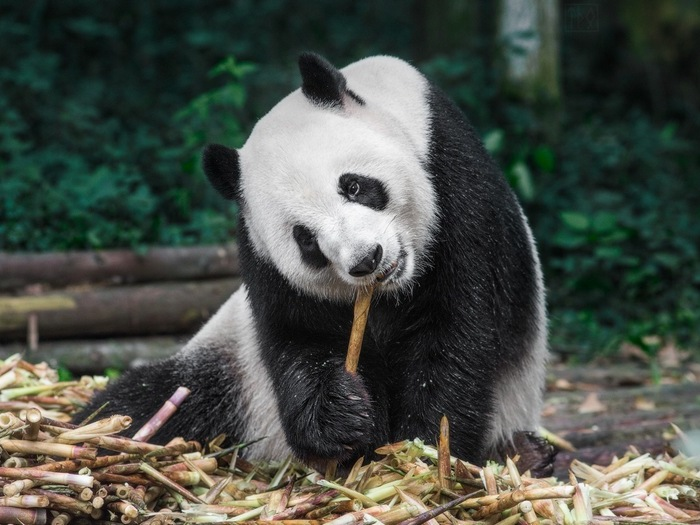 Панды Сычуаня