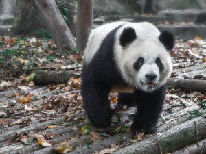 Хищная панда