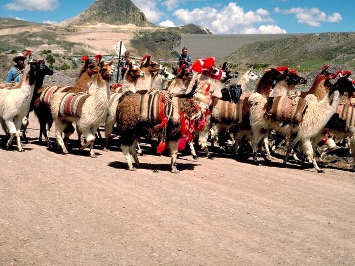 Караван лам в Боливии