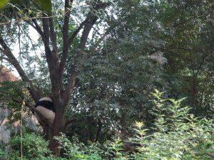 Панды верхолазы