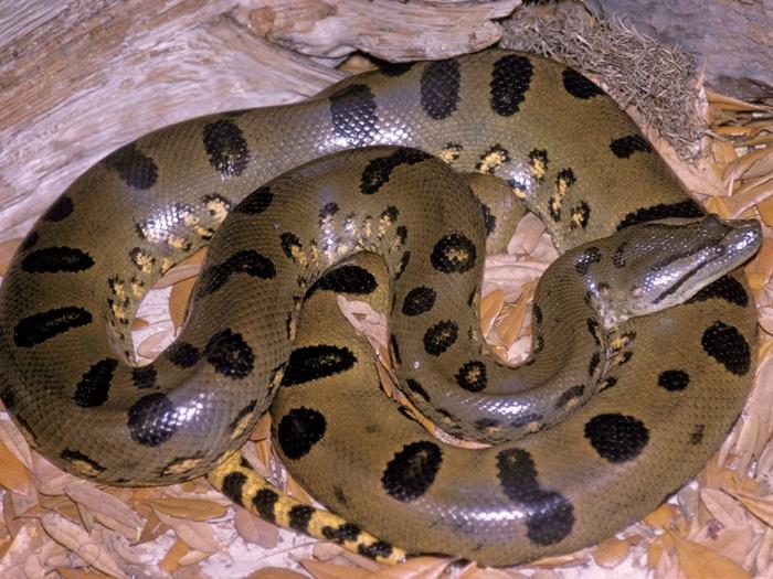 Самая крупная змея в мире