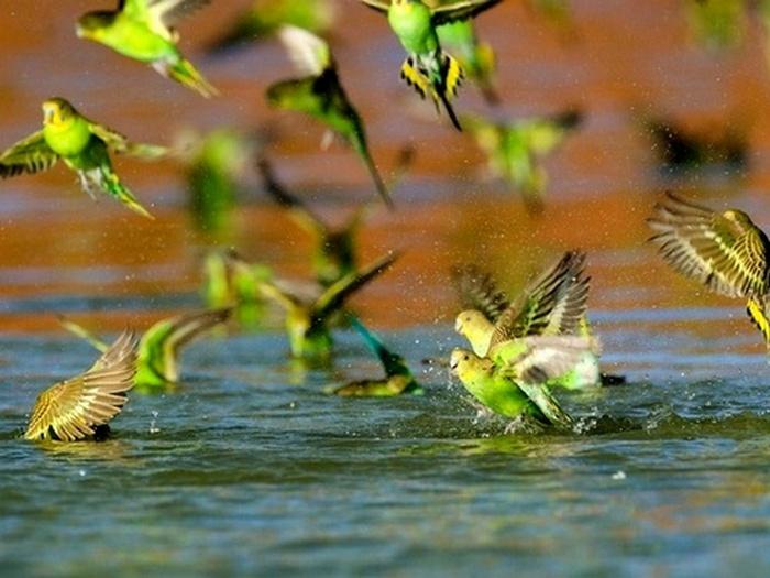 Попугайские страсти на водопое
