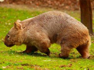 Вомбат — самое крупное норное животное