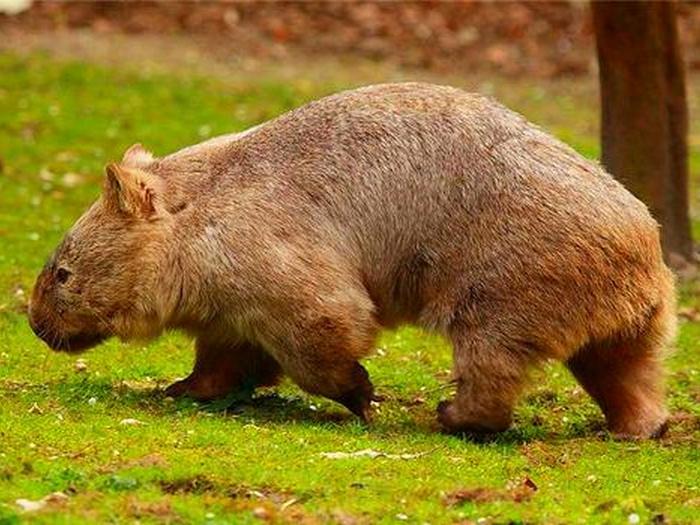 Вомбат - самое крупное норное животное