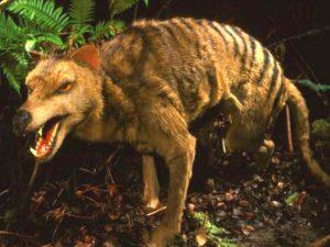 Сумчатый волк