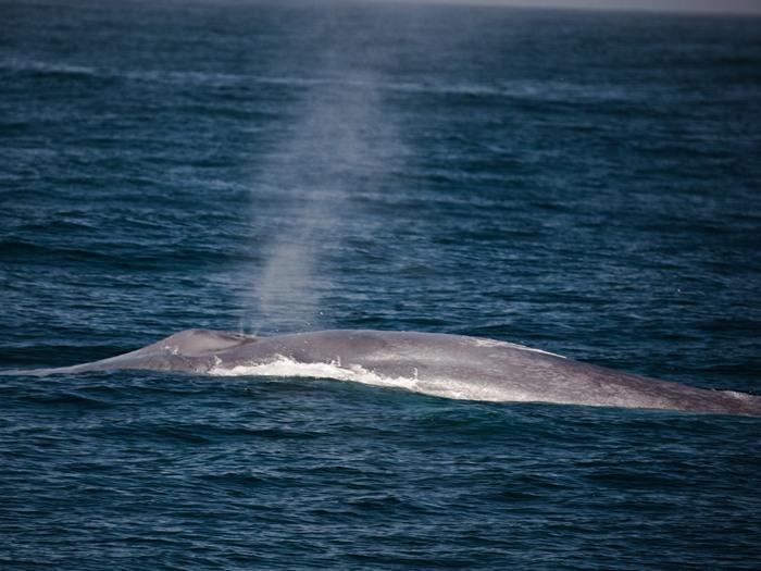 Блювал или голубой кит