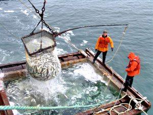 Добыча минтая в Охотском море