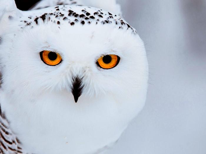 Портрет полярной совы