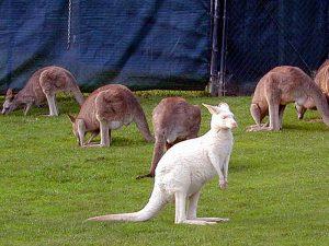 Белый кенгуру
