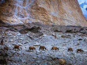 Гималайский караван