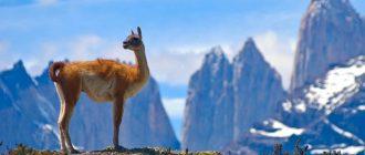 Горные животные. Какие животные обитают в горах