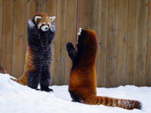 Общение красных панд