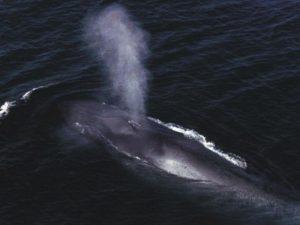 Пузырь синего кита