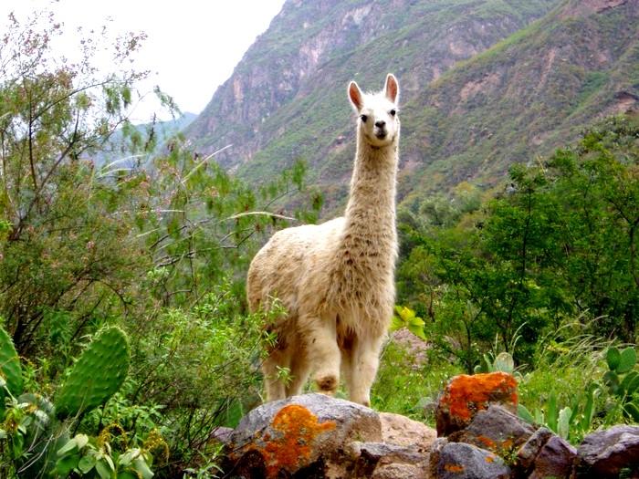 Пугливые дикие ламы