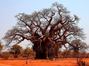 Баобабы в Зимбабве