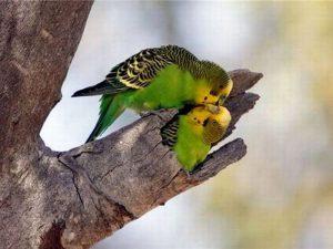 Парочка волнистых попугайчиков