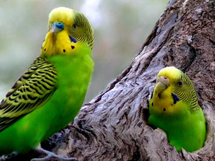 Виды-попугаев-Описание-и-образ-жизни-различных-попугаев-11