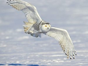 Белая сова над просторами тундры