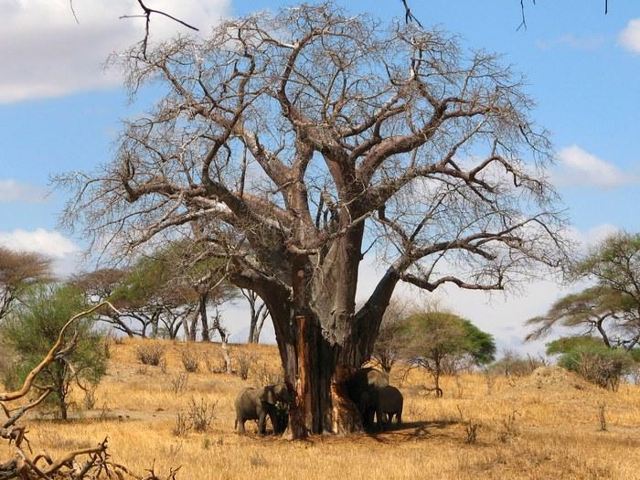 Слоны крушители баобабов